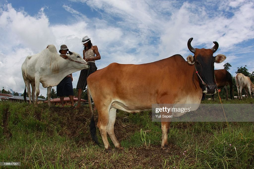 A jockey binds rope onto a cow during a ''Pacu Jawi,'' a cow race, on November 17, 2012 in Batusangkar, Indonesia. The ''Pacu Jawi'' is held annually in muddy rice fields to celebrate the end of the harvest season. Jockeys grab the tails of the bulls and skate across the mud barefoot balancing on a wooden plank to show the strength of their bulls who are later auctioned to buyers.