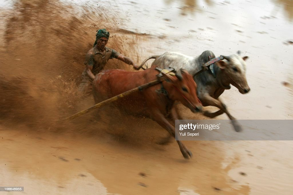 A jockey controls harnessed cows during a ''Pacu Jawi,'' a cow race, on November 17, 2012 in Batusangkar, Indonesia. The ''Pacu Jawi'' is held annually in muddy rice fields to celebrate the end of the harvest season. Jockeys grab the tails of the bulls and skate across the mud barefoot balancing on a wooden plank to show the strength of their bulls who are later auctioned to buyers.