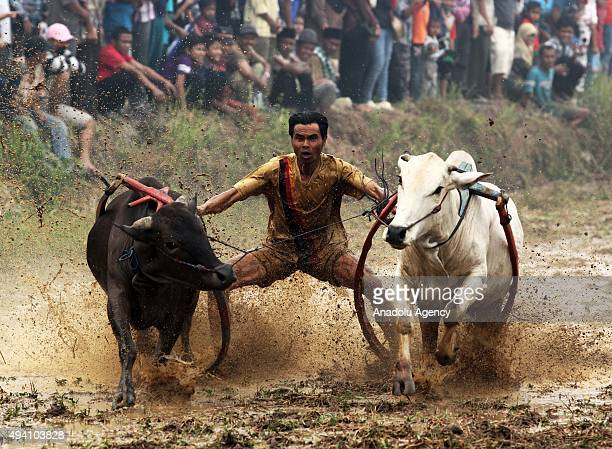 A jockey controls harnessed cows during a ''Pacu Jawi'' a cow race on October 24 2015 in Batusangkar West Sumatra Indonesia The annual race named...