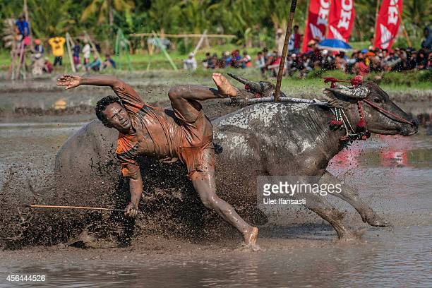 A jockey falls from his buffalos during Barapan Kebo or buffalo races as part of the Moyo festival on September 30 2014 in Sumbawa Island West Nusa...