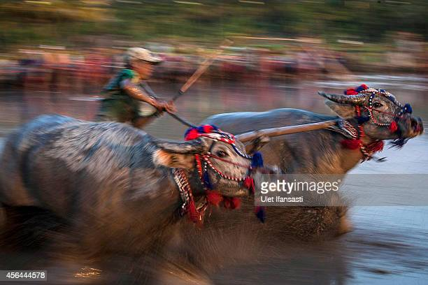 A jockey spurs the buffalos as they race during Barapan Kebo or buffalo races as part of the Moyo festival on September 30 2014 in Sumbawa Island...