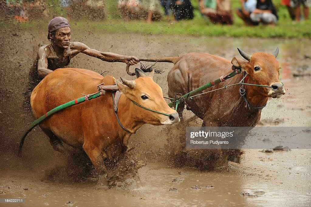 A jockey spurs the cows as they race in Pacu Jawi on October 12, 2013 in Batusangkar, Indonesia. This Pacu Jawi (traditional cow racing) is held annually in muddy rice fields to celebrate the end of the harvest season by the Minangkabau people. Jockeys grab the tails of the bulls and skate across the mud barefoot balancing on a wooden plank to show the strength of their bulls who are later auctioned to buyers.
