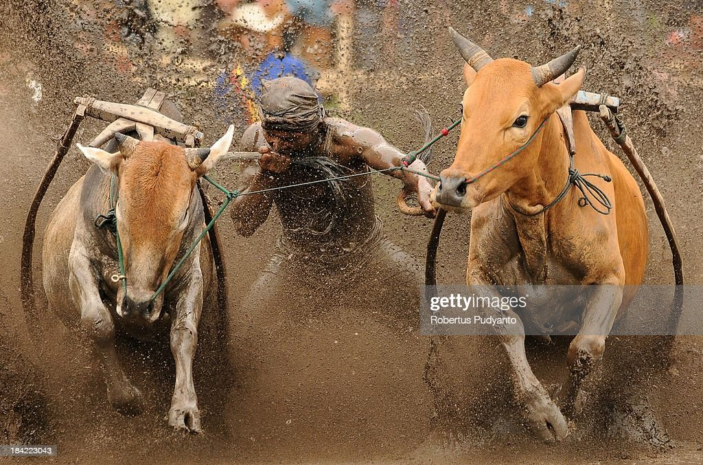 A jockey tries to control his steeds as they race in Pacu Jawi by biting their tails on October 12, 2013 in Batusangkar, Indonesia. This Pacu Jawi (traditional cow racing) is held annually in muddy rice fields to celebrate the end of the harvest season by the Minangkabau people. Jockeys grab the tails of the bulls and skate across the mud barefoot balancing on a wooden plank to show the strength of their bulls who are later auctioned to buyers.