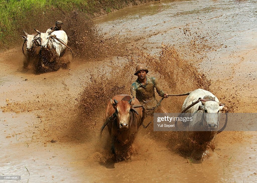 Jockeys control harnessed cows during a ''Pacu Jawi,'' a cow race, on November 17, 2012 in Batusangkar, Indonesia. The ''Pacu Jawi'' is held annually in muddy rice fields to celebrate the end of the harvest season. Jockeys grab the tails of the bulls and skate across the mud barefoot balancing on a wooden plank to show the strength of their bulls who are later auctioned to buyers.