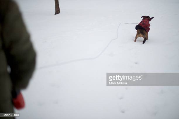 Joel Gyimesi walks his dog 'Philly' who shakes while walking through Gorgas Park in the snow March 14 2017 in Philadelphia Pennsylvania Much of the...