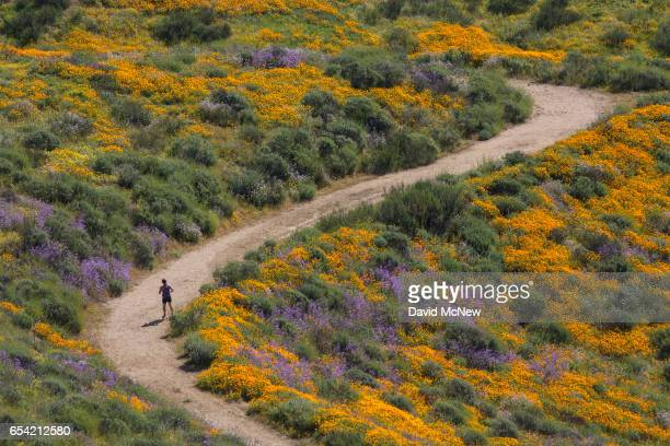 A jogger passes between fields of flowers after prolonged record drought gave way to heavy winter rains causing one of the biggest wildflower blooms...