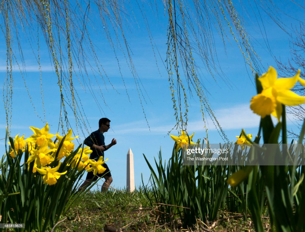 A jogger passes blooming daffodils along the Lady Bird Johnson Park path in Arlington, VA on March 31, 2014. Hopefully yesterday's snow flurries will be the last of the season as April begins tomorrow.