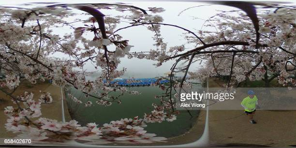 A jogger passes under peak bloom cherry trees at Tidal Basin March 27 2017 in Washington DC The blossoms survived after a late winter ice and...