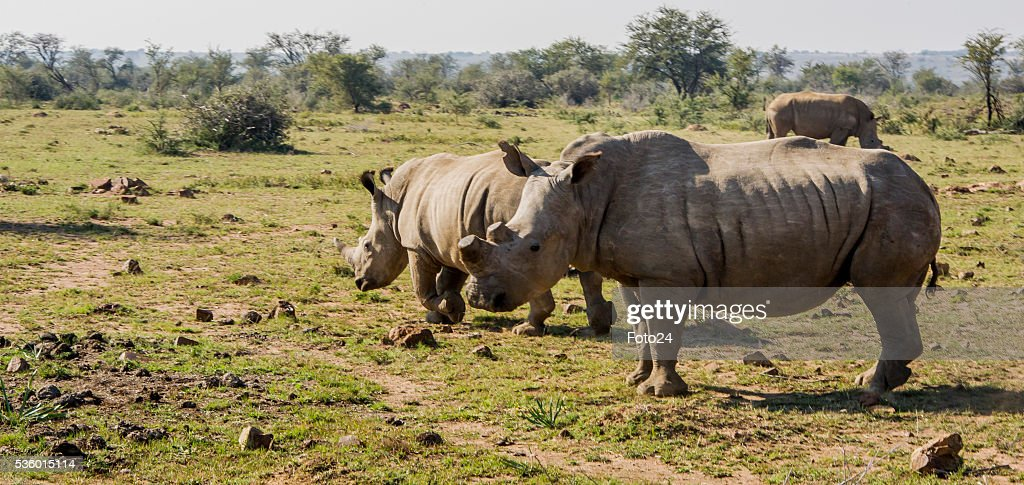 Johan Humes rhinos roam around at his farm during his interview about the court battle victory to amputate and sell horns on May 28, 2016 in Klerksdorp, South Africa. The 74-year-old Hume argues that if he can feed the demand with legally-obtained rhino horns, he can slow the illegal trade and save the species from extinction.