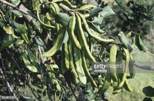 Johannisbrotbaum Familie der Leguminosen mit Schoten