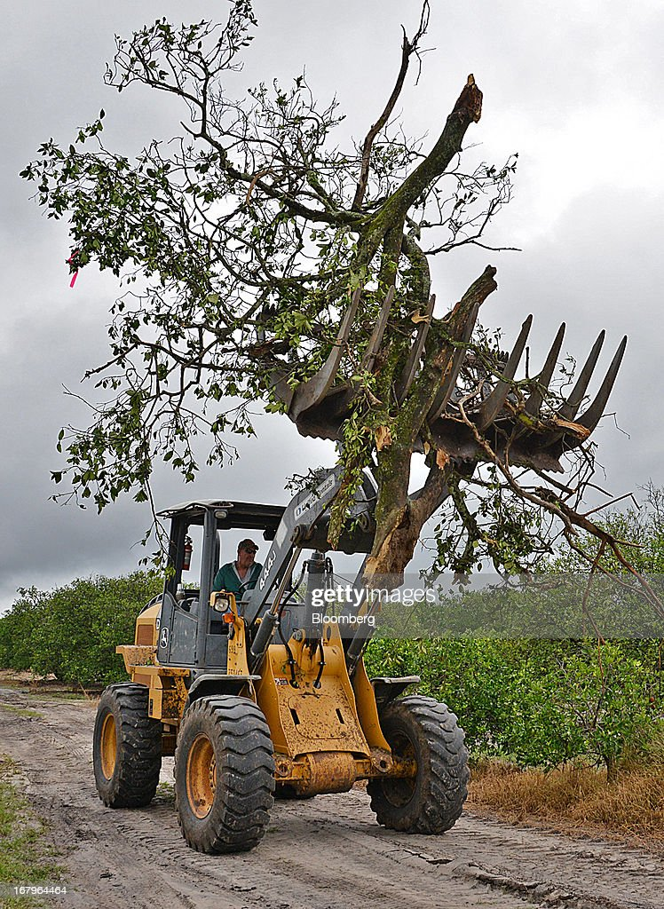 A John Deere 444J carries a Valencia orange tree infected with bacteria from the Asian Citrus Psyllid insect to a burn pile at the Reynolds Farm in Lake Placid, Florida, U.S., on Thursday, May 2, 2013. The U.S. Department of Agriculture probably will lower its estimate for Florida's orange output as unusually dry weather compounds damage from citrus greening, a crop disease that cuts yields. Photographer: Mark Elias/Bloomberg via Getty Images