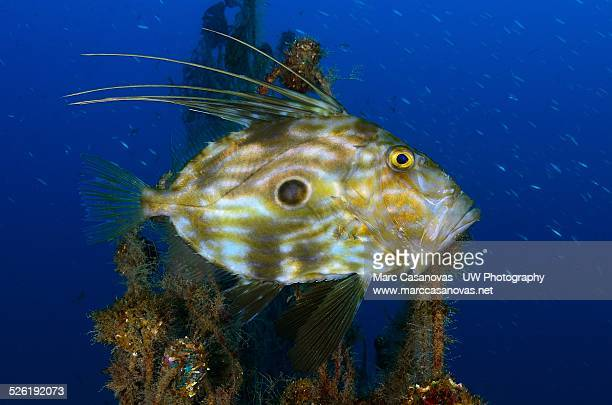 John dory fish stock photos and pictures getty images for Picture of dory fish