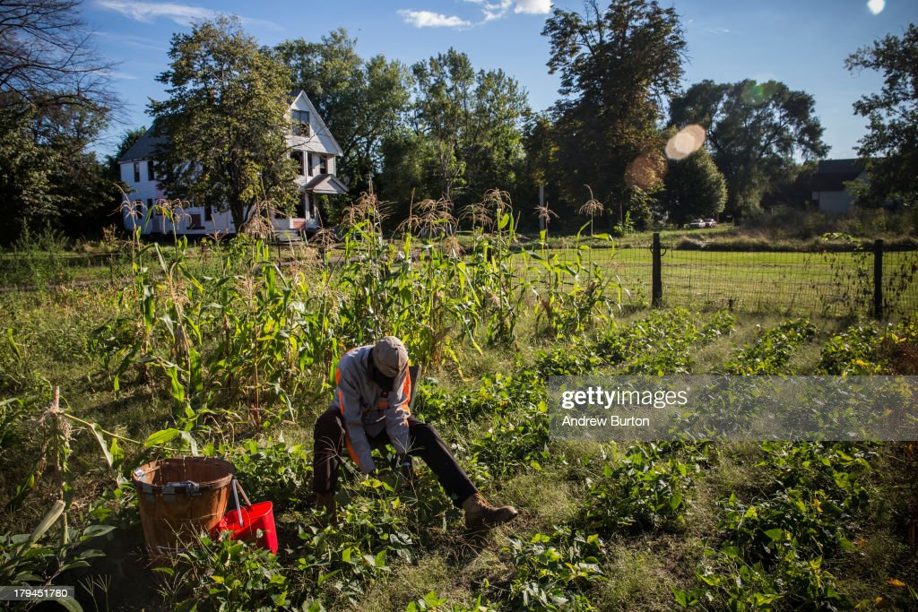 John Fullmore picks beans in his garden, which he created in an empty lot next to his house, on September 3, 2013 in Detroit, Michigan. Fullmore, who is originally from Georgia, moved to Detroit in 1958, where he worked as a metal finisher. While urban farming has recently seen a resurgence in Detroit due to the vast number of vacant lots, Fullmore says he has been gardening in Detroit for over 30 years.