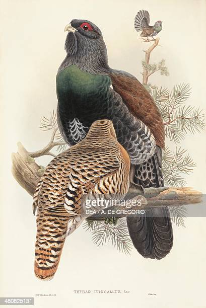 John Gould The Birds of Great Britain 18621873 Capercaillie Colored engraving