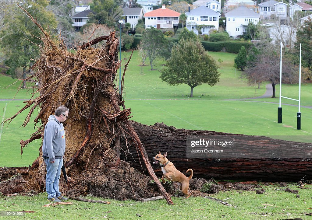 John McDermott walks with his dog Pagi past an uprooted tree in Grey Lynn Park on June 11, 2014 in Auckland, New Zealand. Cyclonic winds and heavy rainfall has caused damage across Auckland, Northland and Waikato. Storms resulted in wide ranging power outages and property damage.