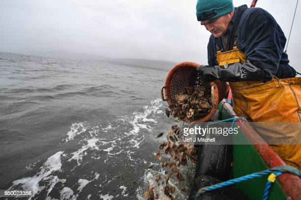 John Mills relays young oysters at Scotland's last wild native oyster fishery from the 1970s Clyde built trawler the 'Vital Spark' on September...