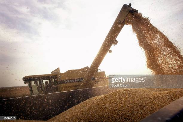 John Shedd loads a container with Btcorn harvested from his son's farm October 9 2003 near Rockton Illinois Shedd and his son farm 800 acres of the...