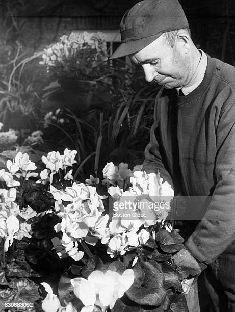 John Sullivan head gardener examines a potted plant at the Isabella Stewart Gardner Museum in Boston on Jan 21 1953
