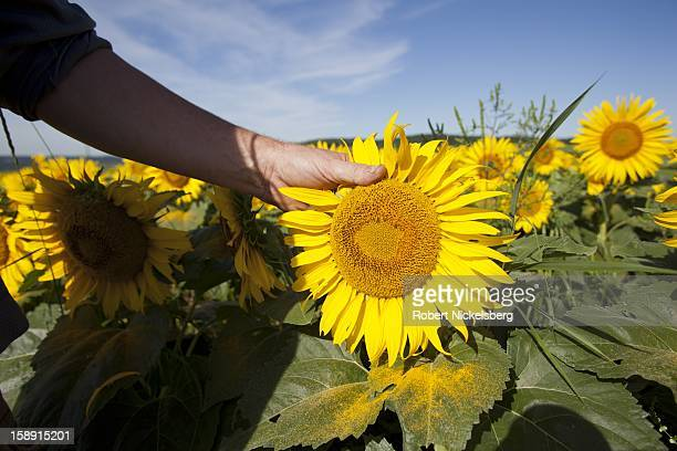 John Williamson stands in a field of sunflowers August 7 2012 on his thirdgeneration 200acre farm in North Bennington Vermont Williamson sold off the...