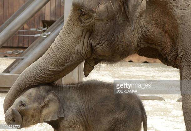 Johti 44years old Asiatic Elephant plays with her newborn female baby at Ostrava's Zoo on May 31 2011 The baby elephant was born on April 15 AFP...