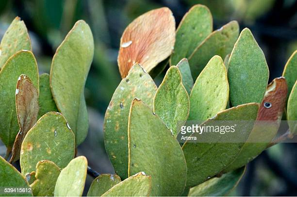 Jojoba leaves keep their edges toward the sun to reduce evaporation of water Organ Pipe Cactus National Monument Arizona US