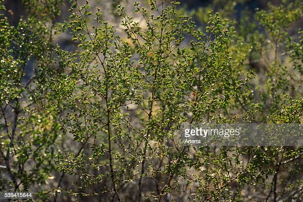 Jojoba shrub growing in the Sonoran desert Organ Pipe Cactus National Monument Arizona US