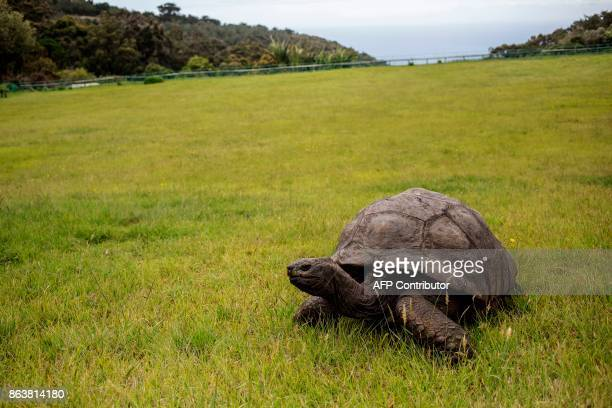 Jonathan a Seychelles giant tortoise believed to be the oldest reptile living on earth with and alleged age of 185 years crawls through the lawn of...