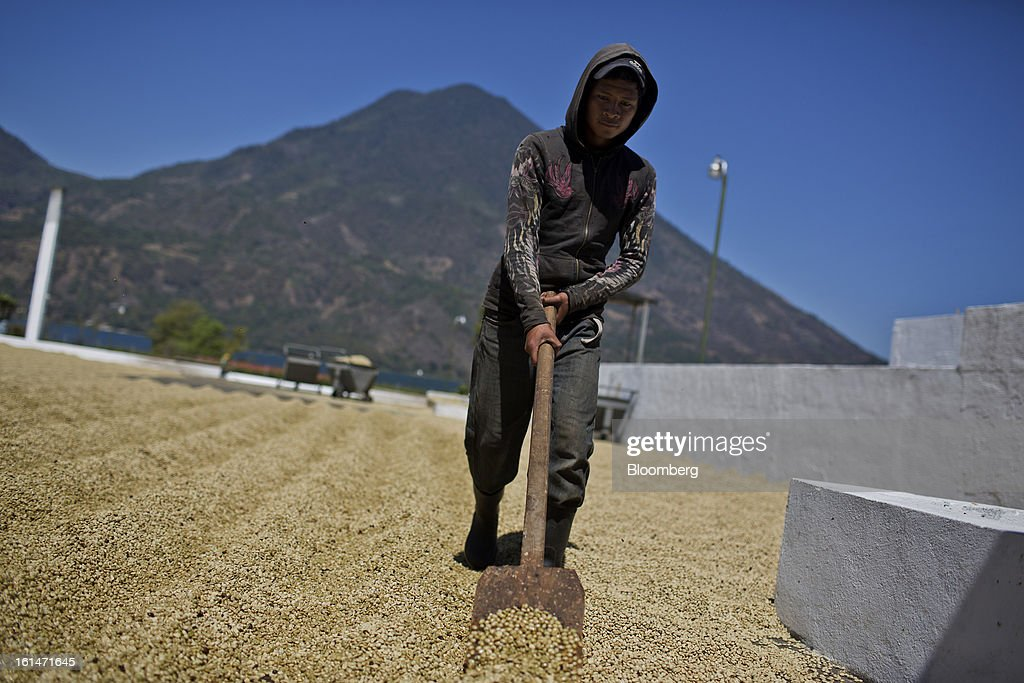 Jose Daniel Zepalu rakes coffee beans as they dry at a processing plant near Santiago Atitlan, Guatemala, on Friday, Feb. 8, 2013. The Guatemalan National Coffee Association said that rust disease, known as roya in Spanish, will destroy 15 percent of the 2012-2013 harvest and as much as 40 percent of next season's harvest. Photographer: Victor J. Blue/Bloomberg via Getty Images