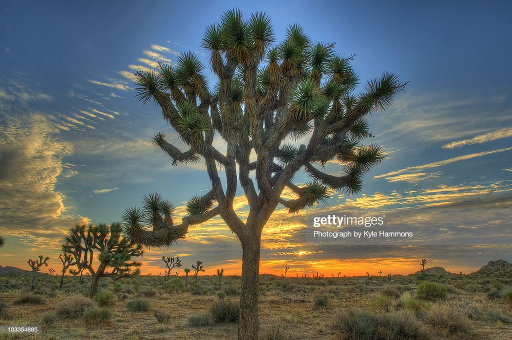 Joshua Tree at Sunrise
