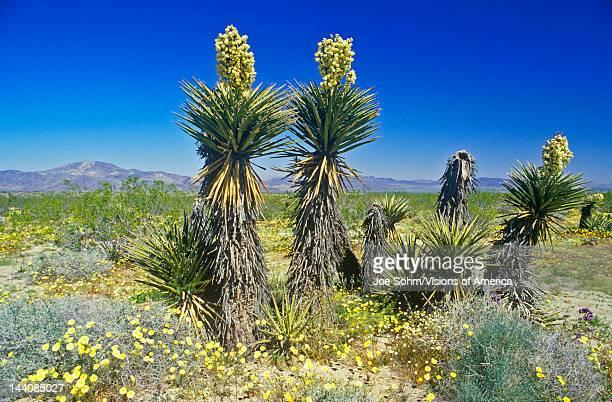 Joshua Tree Desert in bloom Springtime CA