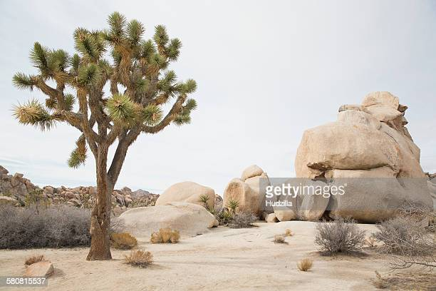 Joshua tree growing by rocks at desert against sky