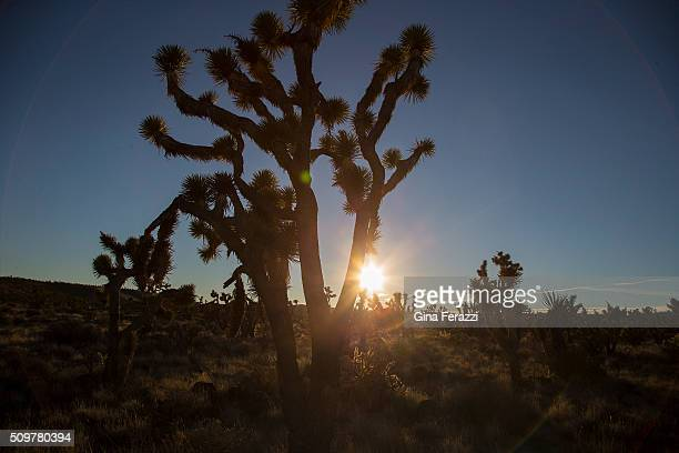 Joshua tree is backlit by the setting sun in the Mojave Desert landscape which President Obama has just designated as a National Monument near the...
