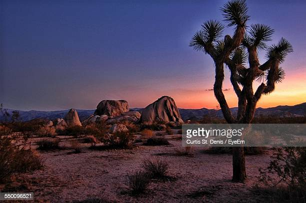 Joshua Tree On Desert Landscape During Sunset