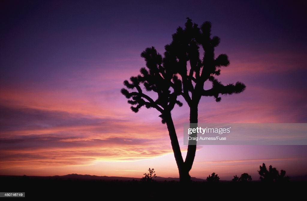 Joshua Tree Silhouetted by Sunset