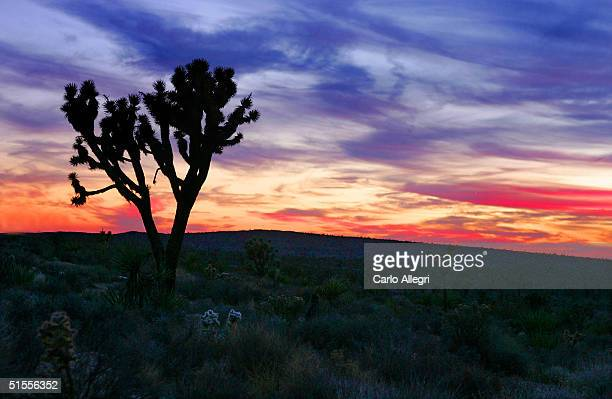 Joshua tree stands in the high Mojave Desert against a twilight sky October 23 2004 in Mojave California The Joshua trees is not a tree at all but a...