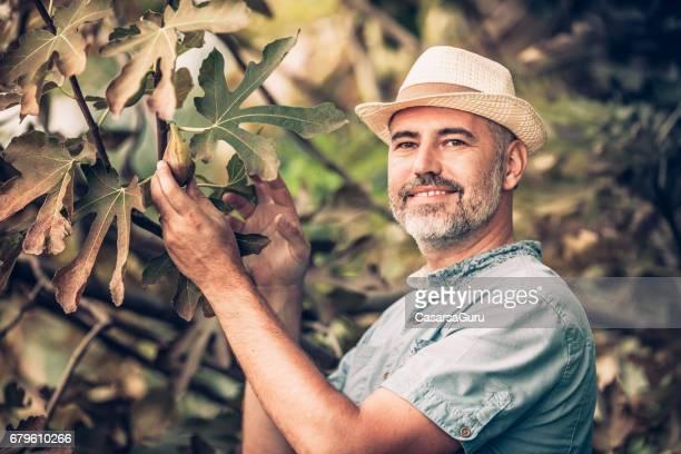 Homme joyeux cueillette des figues du figuier