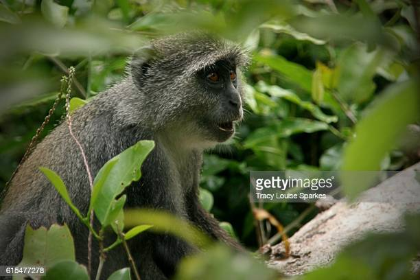 Jozani Forest Red Colobus Monkey