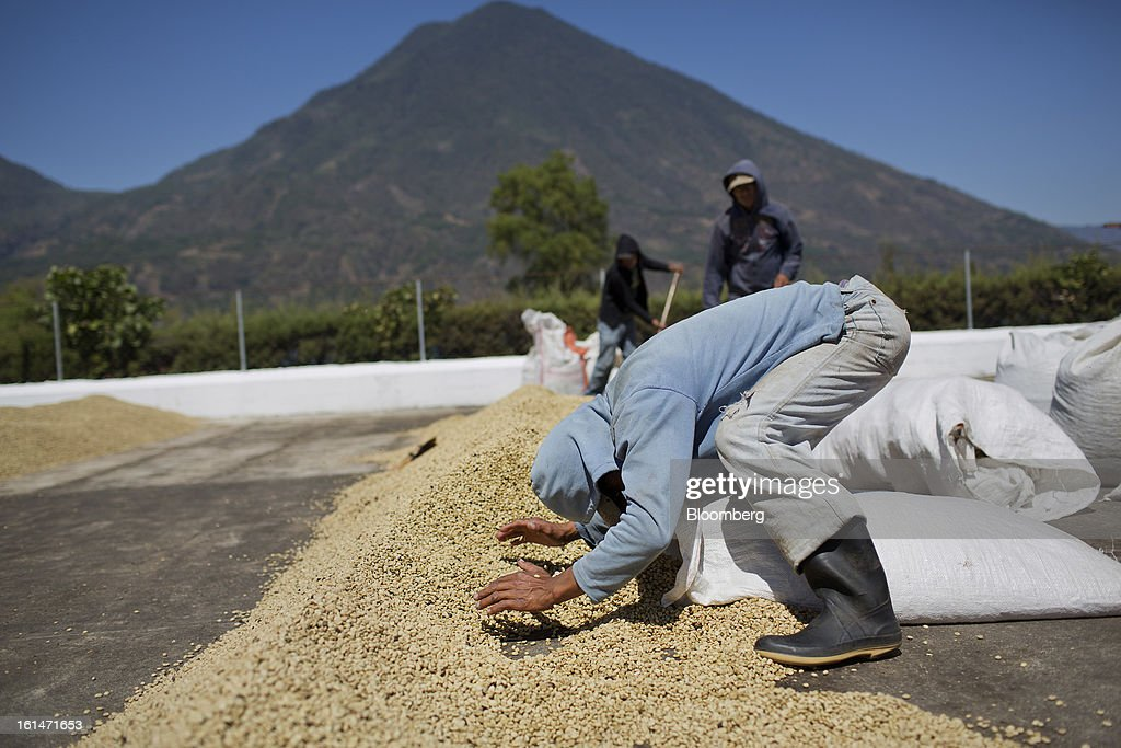 Juan Felipe Lopez bags dry coffee beans at a processing plant near Santiago Atitlan, Guatemala, on Friday, Feb. 8, 2013. The Guatemalan National Coffee Association said that rust disease, known as roya in Spanish, will destroy 15 percent of the 2012-2013 harvest and as much as 40 percent of next season's harvest. Photographer: Victor J. Blue/Bloomberg via Getty Images