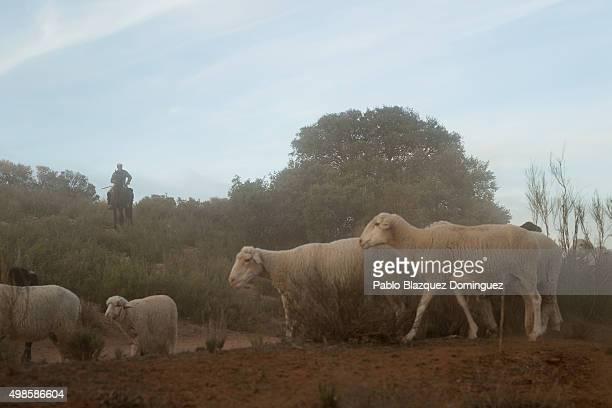 Juan Francisco Ahulfinger 45 guides the sheep and goats herd along the Canada Real Conquense o de los Serranos on November 20 2015 near Socuellamos...