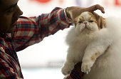 A judge checks a Himalayan cat during the V International Feline Fair in Medellin Antioquia department Colombia on February 16 2013 AFP PHOTO/Raul...