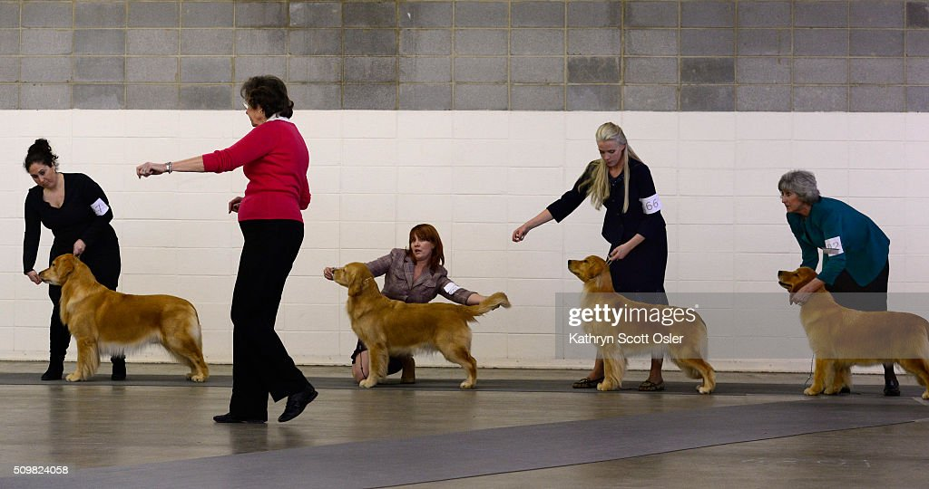 Judge Karen Wilson, second from left, makes her selection from a group of Golden Retrievers. The Rocky Mountain Cluster All Breed Dog Show takes place at the National Western Complex in Denver on Friday, Feb. 12, 2016 and continues through Sunday, Feb 15th.