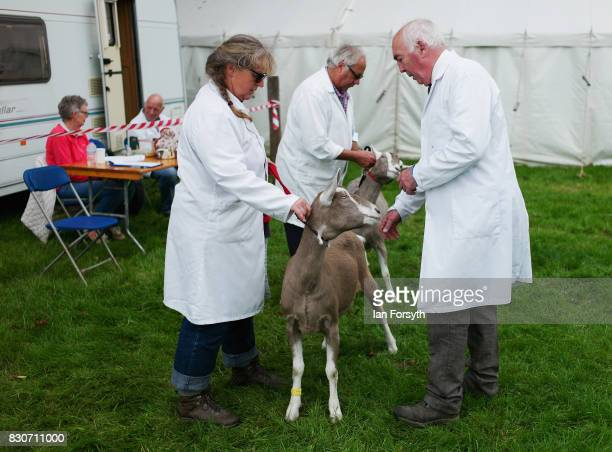 A judge views goats during the 194th Sedgefield Show on August 12 2017 in Sedgefield England The annual show is held on the second Saturday each...