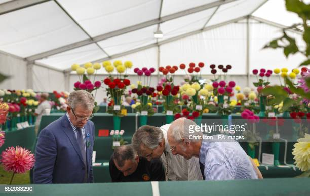 Judges closely inspect flowers at the National Dahlia Society's Annual Show at RHS Wisley in Surrey around 100 exhibitors entered the 80 classes each...