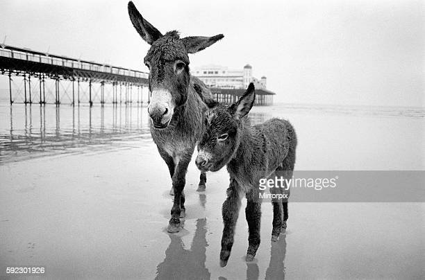 Judy a 7 year old Sands Donkey with her foal at WestonsuperMare where she will work when she is big enough The Donkeys are owned by Mr Don Trapnell...