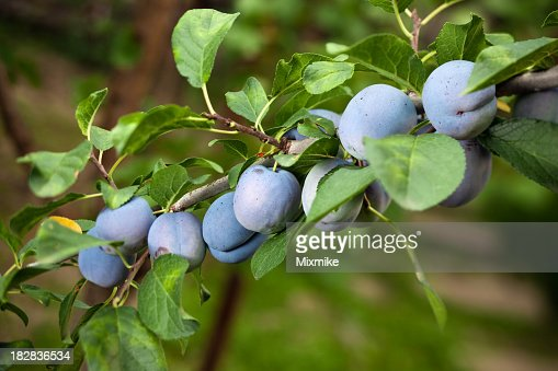 Juicy plums growing on a tree