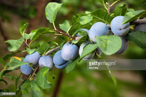 Juicy plums growing on a tree