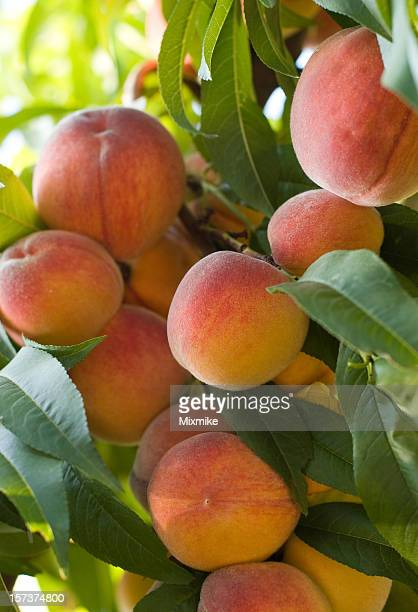 Juicy red peaches hanging from the tree