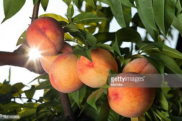 Saftige Rote Pfirsiche ripen auf die tree