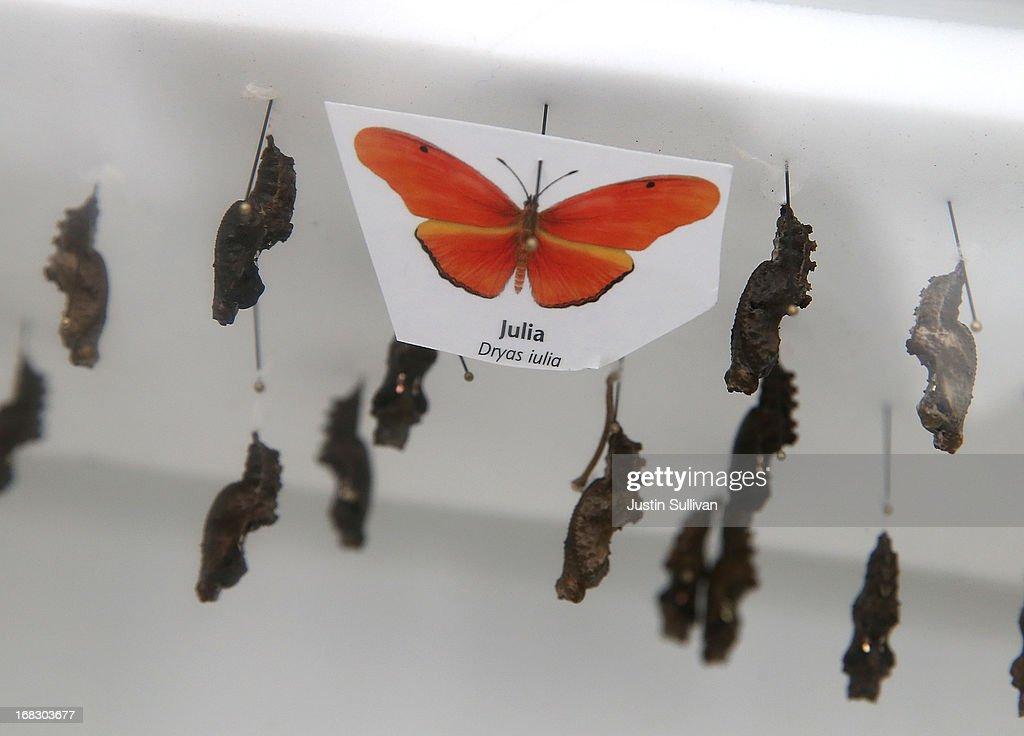 Julia butterfly cocoons are displayed during the first day of the 'Butterflies and Blooms' exhibit at the Conservatory of Flowers in Golden Gate Park on May 8, 2013 in San Francisco, California. The popular 'Butterflies and Blooms' exhibit has returned to the Conservatory of Flowers and features more than 20 species of North American butterflies including Monarchs, Western Swallowtails and more.