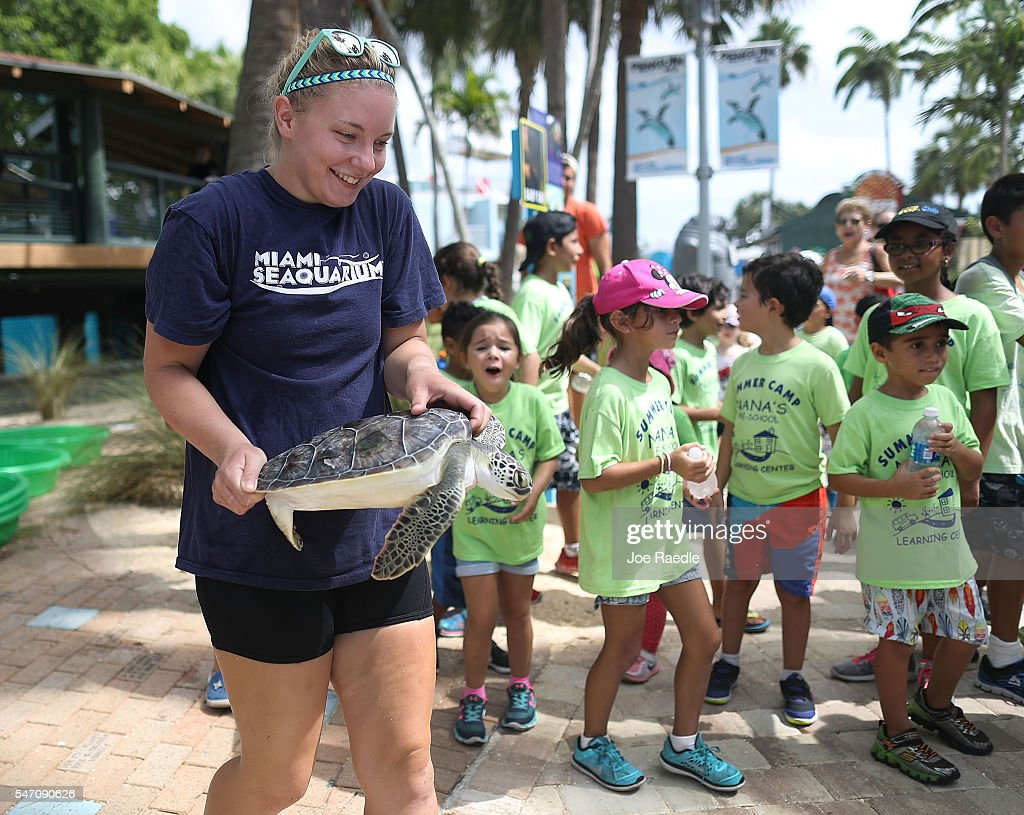Julie Heyde a senior animal keeper with the Miami Seaquarium carries one of five rehabilitated juvenile green sea turtles as they are prepared to be...